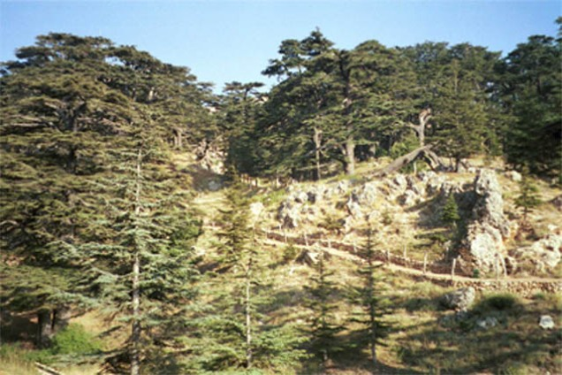 The Cedars of Lebanon - click for a slightly larger view