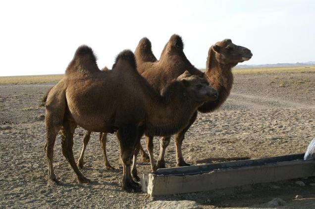 The Camels Look Up After Drinking