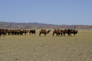 Camels take over the roadway in the Gobi